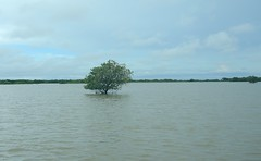 Cambodia (Tonle Sap) Lonely standing tree on the lake