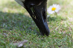 Daisy cutter (KevPBur) Tags: closeup bill head beak daisy nibble canadagoose waterbirds rostrum eatinggrass canon650d canon70200mmf28lisiiusm canonextenderef14xiii canonrebelt4i canonkissx6i canon650dcanonkissx6icanonrebelt4i