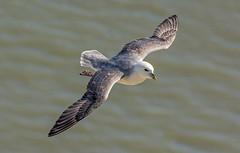 JWL0982  Fulmar...... (jefflack Wildlife&Nature) Tags: nature birds countryside wildlife gulls fulmar avian seabirds shorebirds wildbirds bempton coastalbirds