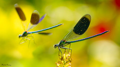 Damselfly ! (Explored July 11, 2016) (Michel Images (Off for a few weeks)) Tags: macro nature bokeh damselfly odonata canoneos7d tamronsp90mmf28dimacrovcusd