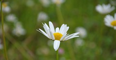 Flip For Peace (jack4pics) Tags: flower alaska petal flip peaceforall