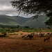 Borana woman herding small ruminants