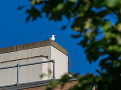 City dweller (Geza (aka Wilsing)) Tags: centrallondon clearskies seagull