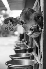 04486 (' A r t ') Tags: 04486 arthurcammelbeeck cammelbeeck denmark outdoor raw summer animal artcammelbeeck bw blackandwhite camelendk cow ko monochrome wwwflickrcomphotosartcammelbeeck
