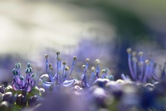 ambiance hydrangenne (**Jeannie) Tags: canon6d 100mmf28 fleurs hydrangea tamine