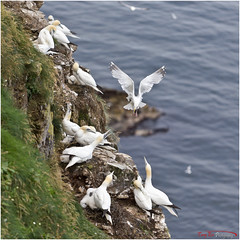 Nest Raider II_L7Q8204 (See previous shots) (The Terry Eve Archive) Tags: gannet guga gull herringgull predditor rspbtrouphead naturereserve moraycoast aberdeenshire clifftop colony terryevephotography