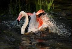 that summer feeling (me*voil - away) Tags: bird water reflections bath action flamingo splash wjosna strhen