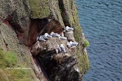 Seabird cliffs (tommyajohansson) Tags: greatbritain geotagged scotland aberdeenshire unitedkingdom aberdeen seabirds weekendbreak citybreak bullersofbuchan tommyajohansson
