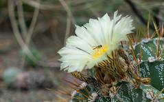 Cacti bloom (dan.kristiansen) Tags: cacti cactus bloom flowers flowering blomstring blomst kaktus succulents desert plants plante sukkulent spikes depthoffield macro