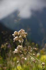 Flora (Elo_M.) Tags: travel fauna montagne switzerland cow suisse weekend rando creativecommons wallis vache valais typic typisch creativecommonlicence binntal mouh fleursdeschamps fäld voyagesweekends creativecommonbysa mysummerinvalais moneteenvalais meinsommerimwallis