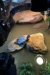 IMG_1766 (jalexartis) Tags: bask basking baskingstone baskingrock aquatic aquatichabitat aquarium abovetanknetting turtlesecurity fallsafe lighting perspective jalexartis