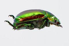 koganemushi_16713stk (takao-bw) Tags: japan insect beetle coleoptera scarabbeetle