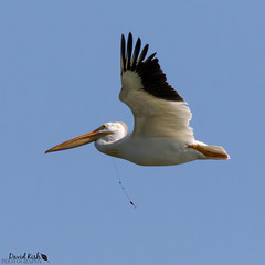 Hooked (dekish1) Tags: colorado outdoor pelican frontrange americanwhitepelican cherrycreekstatepark canon100400mm canon7dmarkii 2v3a1957jpg