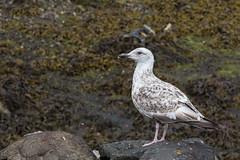 Juv Gull --0259 (WendyCoops224) Tags: canon eos gull isleofmull juvenile herring 600d 24105mml wendycooper