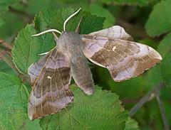 Poplar Hawkmoth (mishko2007) Tags: ireland 105mmf28 laothoepopuli