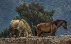 IV (Jonhatan Photography) Tags: horses nature canon explorer hdr