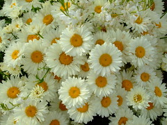 Shasta daisy (yewchan) Tags: flower flowers gardening blooms blossoms nature beauty beautiful colours colors flora vibrant lovely closeup daisy daisies shastadaisy shastadaisies