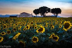 Sights of summer (afrigole) Tags: summer vacation nikon holidays catalonia girona sunflower verano catalunya girasol estiu salitja d7100
