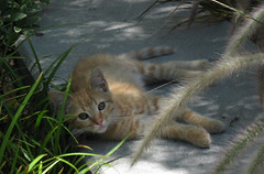 Resting in the Shade (Robb Wilson) Tags: orangetabby tabbykitten grandpark downtownla losangeles kittenresting kittenintheshade