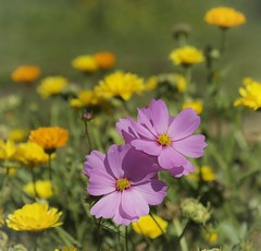 Pink Cosmos (mariannedeselle) Tags: pink cosmos
