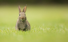 Juvenile Wild Rabbit (Wouter's Wildlife Photography) Tags: wildrabbit rabbit mammal animal nature wildlife ameland oryctolaguscuniculus bunny