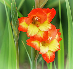 160722-1 (sz227) Tags: gladiole blte blumentag blumengrus sz227 sony zackl sonyslt58