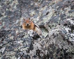 Chipmunk (HubbleColor {Zolt}) Tags: travel wildlife yellowstonenationalpark chipmunk wy wyoming unitedstates us