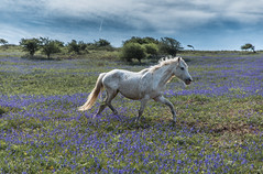 Wild Horses, Brean (paul.humphrey82) Tags: gallop wildhorse bluebells whitehorse horse brean down breandown nationaltrust breansands horses south west southwest bristol westonsupermare seaside