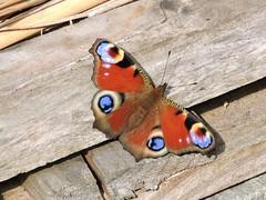 Peacock butterfly (deannewildsmith) Tags: earthnaturelife butterfly wolseley