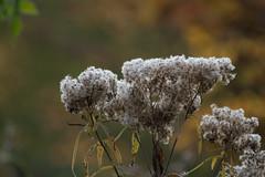 ckuchem-5665 (christine_kuchem) Tags: eiskristalle frost garten kristalle nahrung naturgarten samenstnde stauden vogelnahrung vogelschutz vgel wildgarten winter wintergarten winternahrung naturbelassen naturnah reif schnee berzogen
