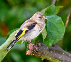 Juv. Goldfinch, Garden, 6th August 2016 (Lathers) Tags: juvgoldfinch garden 5thaugust2016 cardueliscarduelis canonef500f4lisusm canoneos1dx nuneaton warwickshire