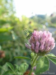 Phaneroptera falcata (Shiori Hosomi) Tags: 2016 august japan tokyo 23   insects entomon          orthoptera tettigoniidae phaneroptera     flowers plants       fabales fabaceae   trifolium