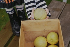Cantaloupe Harvest (obsequies) Tags: harvest september garden homegrown canada manitoba food organic growityourself country rural cantaloupe fruit melons melon muskmelon delicious minnesotamidget heirloom yummy yum eat fresh rustic summer fall autumn