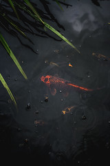 (..FeDe..) Tags: canon fish nature photography animal black dark lake city 35mm f2 rain red