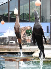Synchro (SamJWilsonPhotography) Tags: samwilsonpics sjwpics sjw sky stream sun shine water splash ripple pool swimming closeup sunset sea lions sealion seals whiskers flippers synchro jump nose face streamlines flipper stand flipperstand ball jumping swim tail tails 2