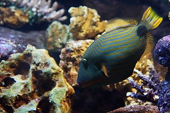Listrado (dotcomdotbr) Tags: peixe sony a77 sal1650 aqurio sao paulo sopaulo azul amarelo coral