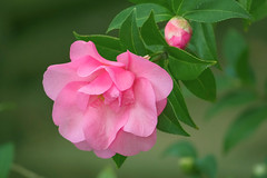 The Lady of the Camellias (satochappy) Tags: camellia pink garden