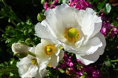 Ranunculus (dgardenia) Tags: rose flower macro outdoor garden nature springbulbs insect bee jasmine iris camellia ranunculus potplant