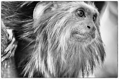 DSC_9862-Edit-2 (craigchaddock) Tags: zoe goldenheadedliontamarin leontopithecuschrysomelas parkeraviary sandiegozoo endangeredspecies newworldmonkey monkey tamarin goldenheadedtamarin blackandwhite