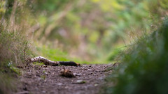 exploring DOF near Tigh na Beithe (grahamrobb888) Tags: nikond800 afnikkor80200mm128ed pathway footpath dof bokeh birnamwood perthshire scotland forest