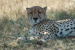 Who's Disturbing My Peace? (Makgobokgobo) Tags: cheetah predator mammal masaimaranationalreserve masaimara mara kenya africa acinonyxjubatus acinonyx