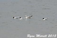 Little Gulls (rjm284) Tags: birds ma provincetown capecod massachusetts birding mass racepoint littlegull hatchesharbor ligu rjm284
