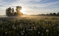 Blowballfield in early morning sun (Sebo23) Tags: fog nebel pusteblume blowball illertissen canon6d canon24704l