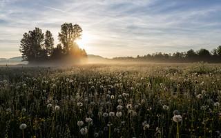 Blowballfield in early morning sun