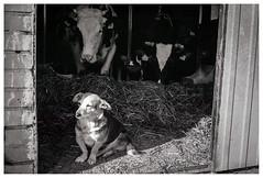 Mazovian Doge :) (Spartaxus) Tags: bw dog analog cows pentax kodak tmax country m42 mesuper