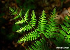 Michigan Fern (mswan777) Tags: wild fern macro nature forest nikon d70 hiking michigan scenic sigma trail 24mm