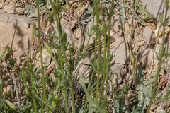 20147910.jpg (katyarud) Tags: animals israel  hermon     lacertilia