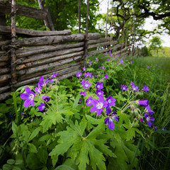 Geranium, Vreta, June 7, 2015 (Ulf Bodin) Tags: plant flower fence se sweden outdoor sverige vreta hammarskog woodcranesbill geraniumsylvaticum midsommarblomster woodlandgeranium grdesgrd uppsalaln bjrkbacken