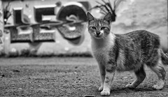 Aslan Burcu / Leo 10/52 (mehmetacik) Tags: world life street bridge sunset bw nature project turkey photography 50mm blackwhite nikon wildlife trkiye sigma istanbul moment sb hayat galata sokak d300 siyahbeyaz 52week