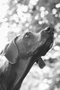 i know this squirrel that lives on top of that tree (VanaTulsi) Tags: dog weimaraner weim blueweimaraner vanatulsi blueweim